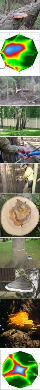 Оценка безопасности дерева