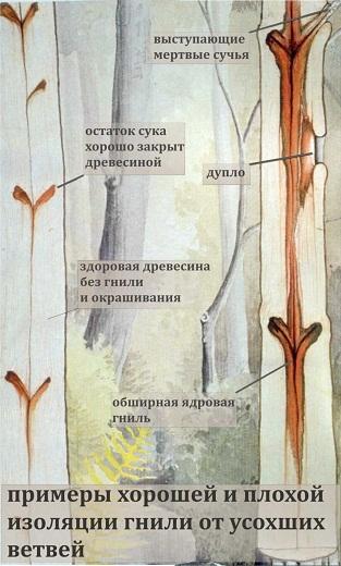 Гниль ветвей