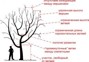 Обрезка многоствольных деревьев